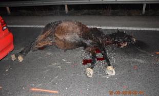 Osobné auto sa pri Prievidzi zrazilo s koňom, polícia pátra o majiteľovi uhynutého zvieraťa